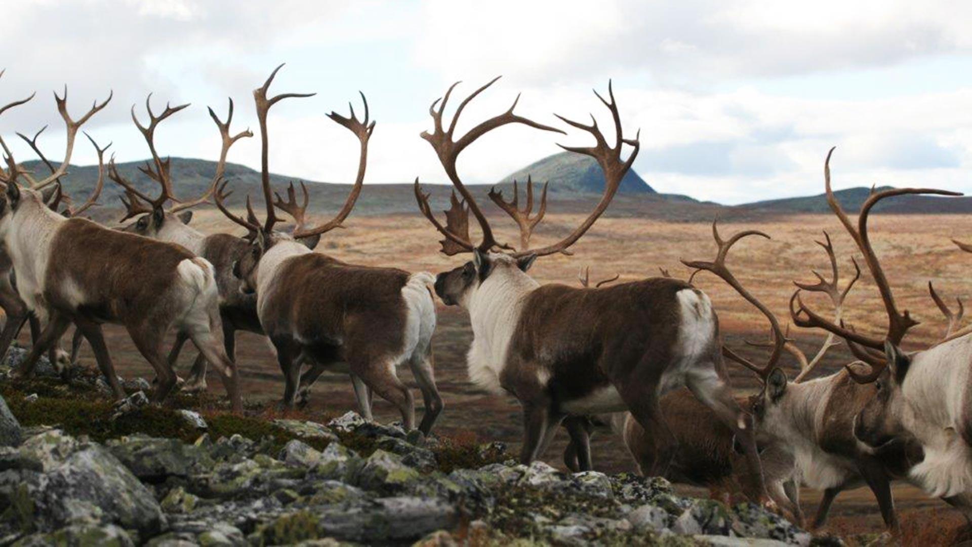 Wild reindeers running.