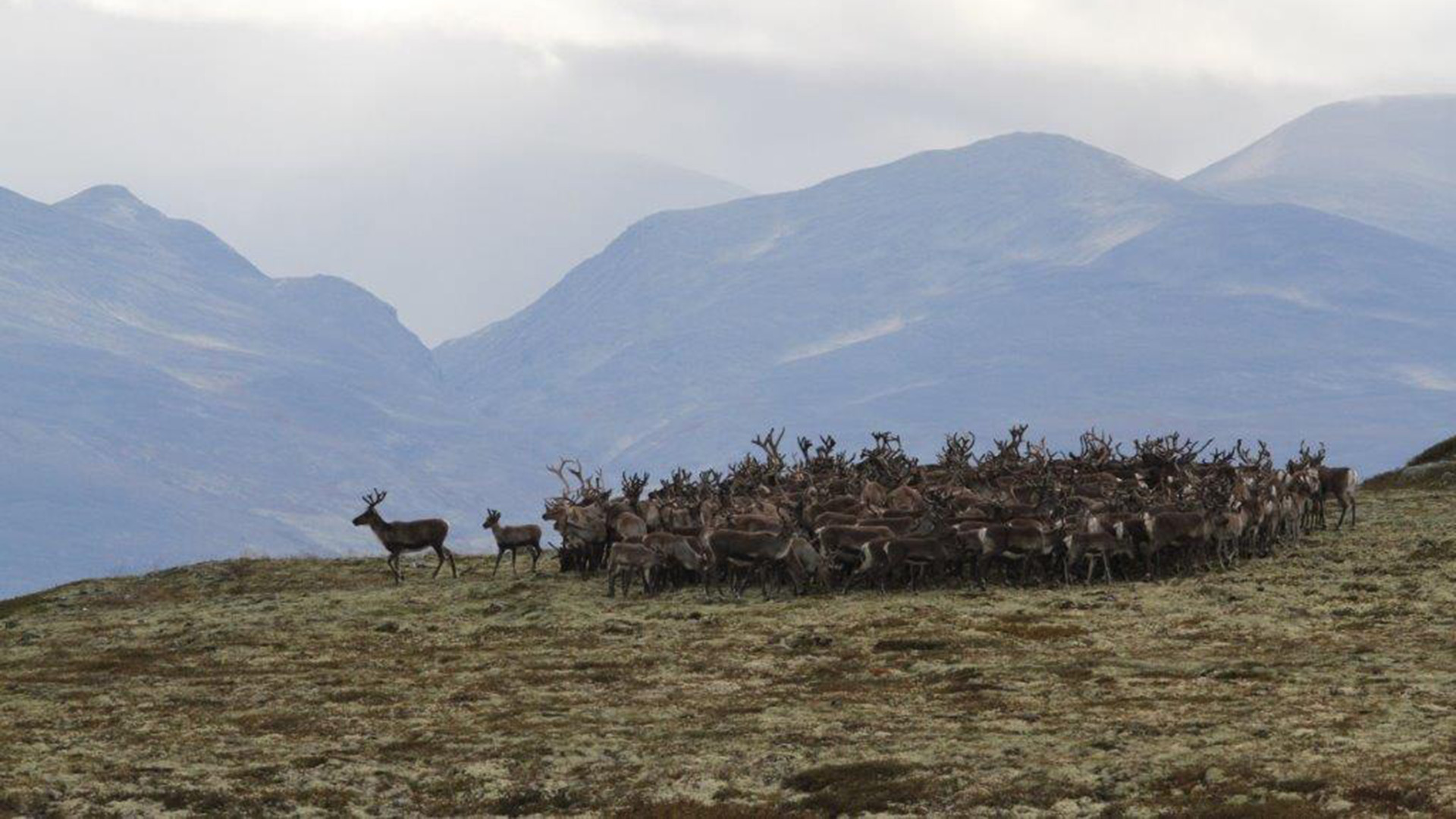 Wild reindeers.