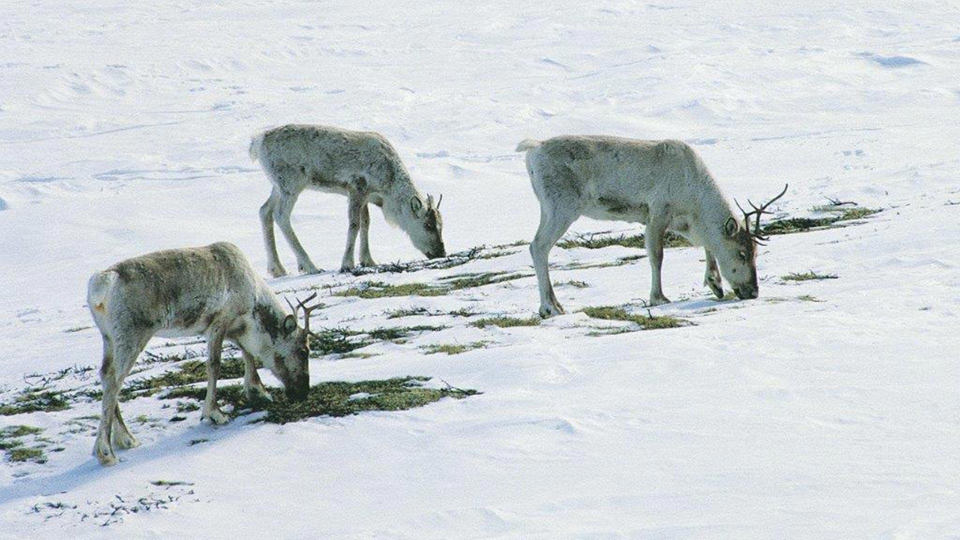 Rein grazing during winter