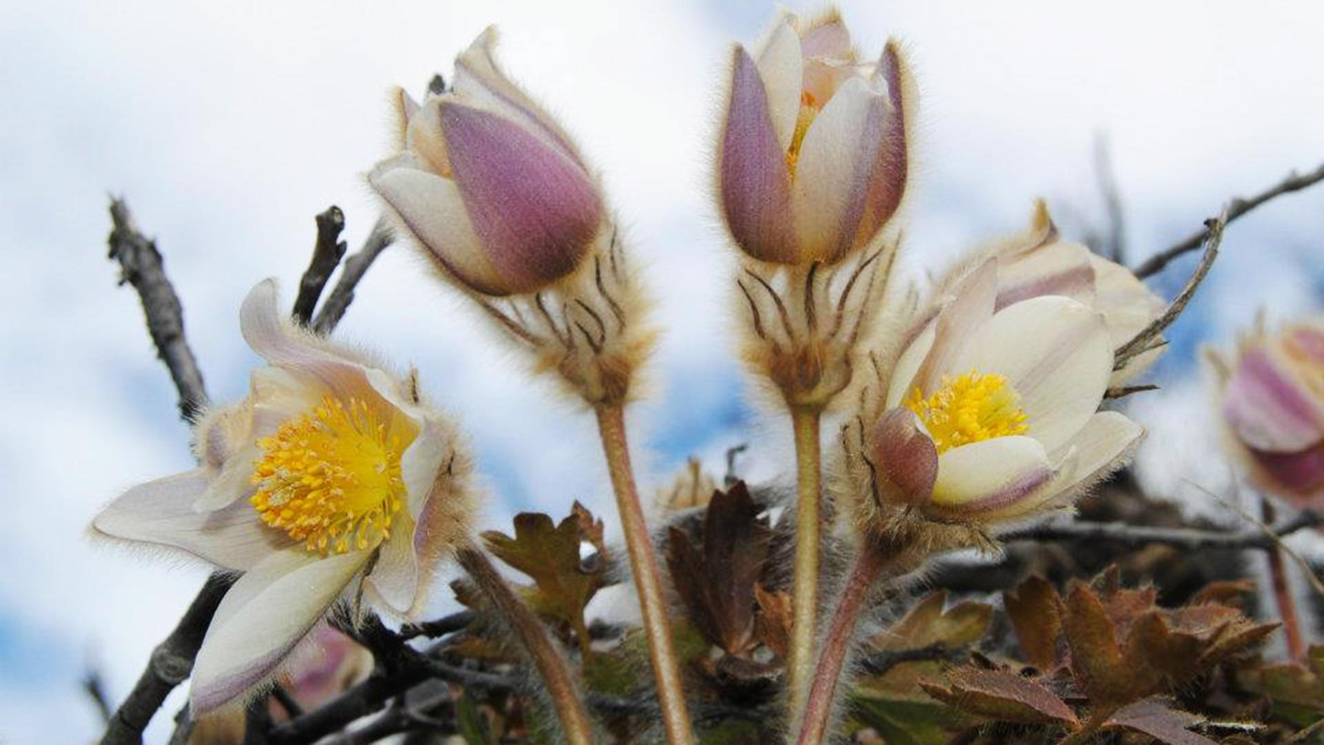 Spring pasque flower.
